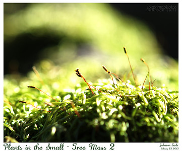 Plants in the Small - Tree Moss 2  Filoli, 23 February 2013