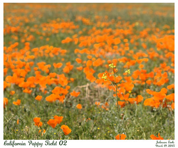 California Poppy Fields 02  Unknown yellow wildflower with poppies in the background.  Western Antelope Valley, California, 19 March 2015