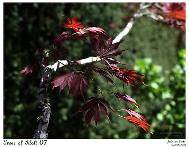 Trees of Filoli 07  Maple leaves.  Filoli, 28 April 2012