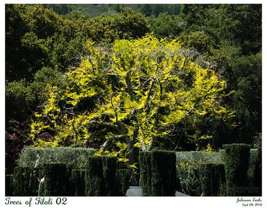 Trees of Filoli 02  Sunburst Honey Locust.  Filoli, 28 April 2012