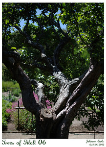 Trees of Filoli 06  Unknown tree, shading the Tree Peonies along the edge of the Cutting Garden.  Filoli, 28 April 2012