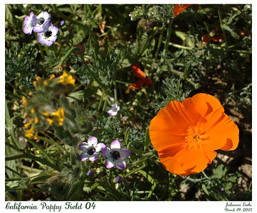 California Poppy Fields 04  California Poppies, Broad-Leaved Gilia, and Fiddleneck.  Western Antelope Valley, California, 19 March 2015