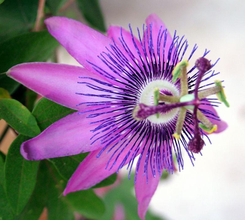 Passion vine blooms. 2005.