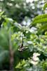 Leaf of a Frangipani <i>(Plumeria rubra var. acutifolia)</i>  (October 13, 2007)