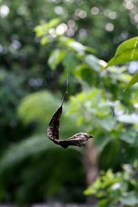 Leaf of a Frangipani