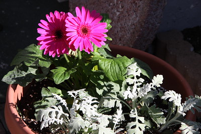 Barberton Daisy and Dusty Miller