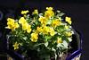 Viola 'Jewel Yellow'