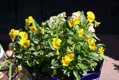 Viola 'Jewel Yellow'