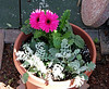 The <b>Barberton Daisy</b> <i>(Gerbera jamesonii)</i> was discovered in 1884 in Barberton (Mpumalanga, South Africa) by Robert Jameson, after whom it is named: Gerbera Jamesonii.  (February 7, 2010)