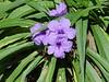<b>Mexican Petunia</b> <i>(Ruellia brittoniana)</i>  (May 31, 2004)