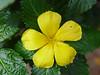 <b>Yellow Alder, Sundrops</b> <i>(Turnera ulmifolia)</i>  (April 2, 2005)