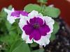 <b>Petunia</b> <i>(Petunia hybrida)</i> [variegated]  (May 13, 2005)