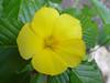 <b>Yellow Alder, Sundrops</b> <i>(Turnera ulmifolia)</i>  (May 13, 2005)
