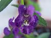 <b>Summer Snapdragon 'Angelface Blue'</b> <i>(Angelonia angustifolia hybrid)</i> (August 14, 2005)