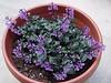 <b>Mona Lavender</b> <i>(Plectranthus hybrida)</i>  (May 13, 2005)