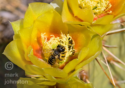 A honeybee collects pollen from a cactus flower blooming in the desert near Escalante, Utah.