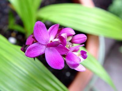 Grapette Ground Orchid
