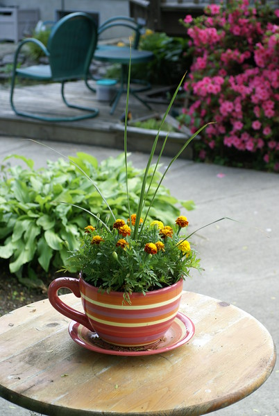 Teacup Marigolds