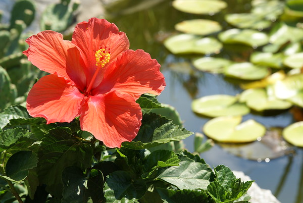 Hibiscus by Pond
