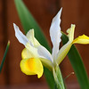 A yellow iris makes an early spring appearance.