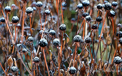Frosted seed heads.