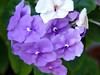 <b>Yesterday, Today, and Tomorrow</b> <i>(Brunfelsia pauciflora)</i>   (December 19, 2004)  With flowers opening purple, then turning pale lavender and finally white, Yesterday-Today-and-Tomorrow is an aptly named little shrub.  Flowers of all three colors are present from spring through the end of summer.