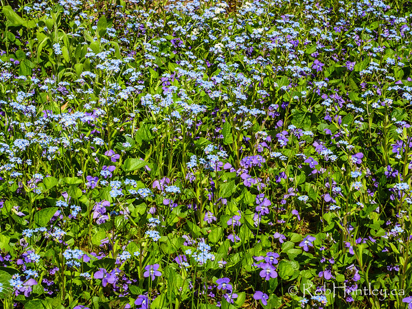 Violets and Forget-me-nots