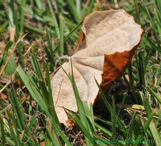 <strong><Center>Time for Fleece</strong></center> Although  Houston has got the temperature back in the nice eighties, we have had some cold mornings. And as this leaf seems to has done; we had to put the fleece on.