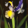 An Iris emerges with the onset of Spring.