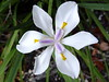 <b>Fortnight Lily</b> (often called African iris in Florida) <i>(Dietes iridioides)</i>  (March 26, 2005)  Fortnight Lily hails from Kenya and eastern Africa ranging south to South Africa at the tip of the continent.    There are six species of Fortnight Lilies <i>(Dietes)</i>, five from tropical Africa and one from Lord Howe Island, Australia. They were previously classified in the genus <i>Moraea</i>, but members of that genus are not rhizomatous. African iris (D. bicolor) is similar to fortnight lily but has narrower leaves and pale yellow flowers with purple markings.  It is still called morea iris by some gardeners. Fortnight Lilies are evergreen perennials.