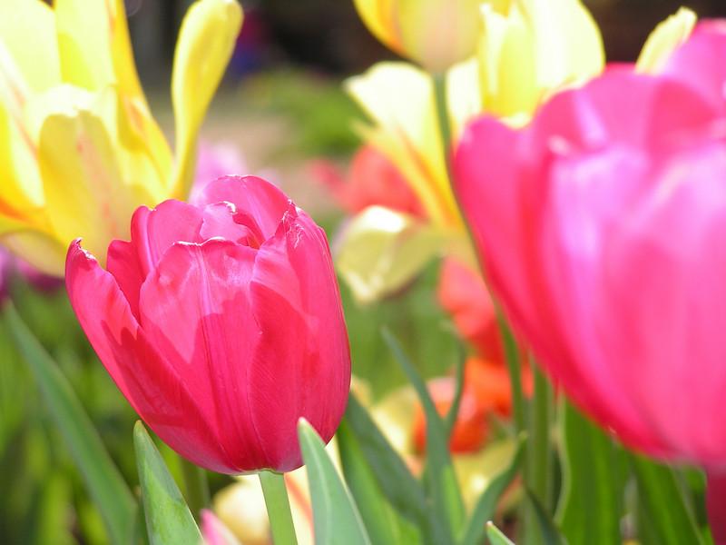 Tulips at the Dallas Arboretum.