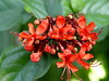 <b>Flaming Glorybower</b> <i>(Clerodendrum splendens)</i>  (December 4, 2004)  Flaming glorybower is a woody or semi-woody evergreen vine or running shrub to 12 feet (3.7 m) long, that climbs by twining. The flowers are brilliant red, sometimes yellow or white. The terminal panicles are about 4 inches across. After the corollas fall, the calyxes become purplish-pink or red.   Flaming glorybower, like many of the <i>Clerodendrums</i>, is native to western Africa.