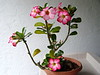 <b>Desert Rose</b> <i>(Adenium obesum)</i>  (April 2, 2005)  The Desert Rose is a native of East Africa. It will grow from 6 1/2 to 10 feet in the wild. It has fleshy leaves and beautiful 2-inch pink open-trumpet shaped flowers. It is a succulent, and forms more of a bush than a tree. It will be an indoor bonsai in all but the warmest climates.
