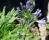 "<b>African Lily, Lily of the Nile</b> <i>(Agapanthus)</i>  (May 8, 2005)  <i>Agapanthus</i> is commonly known as ""Lily of the Nile"" or ""African Lily"" but it is not a lily and all of the species are native to South Africa, from the Cape of Good Hope to the Limpopo River."
