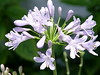 """<b>African Lily, Lily of the Nile</b> <i>(Agapanthus)</i>  (May 8, 2005)  <i>Agapanthus</i> is commonly known as """"Lily of the Nile"""" or """"African Lily"""" but it is not a lily and all of the species are native to South Africa, from the Cape of Good Hope to the Limpopo River."""