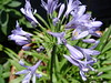 "<b>Lily of the Nile, African Lily</b> <i>(Agapanthus)</i>  (May 8, 2005)  <i>Agapanthus</i> is commonly known as ""Lily of the Nile"" or ""African Lily"" but it is not a lily and all of the species are native to South Africa, from the Cape of Good Hope to the Limpopo River."