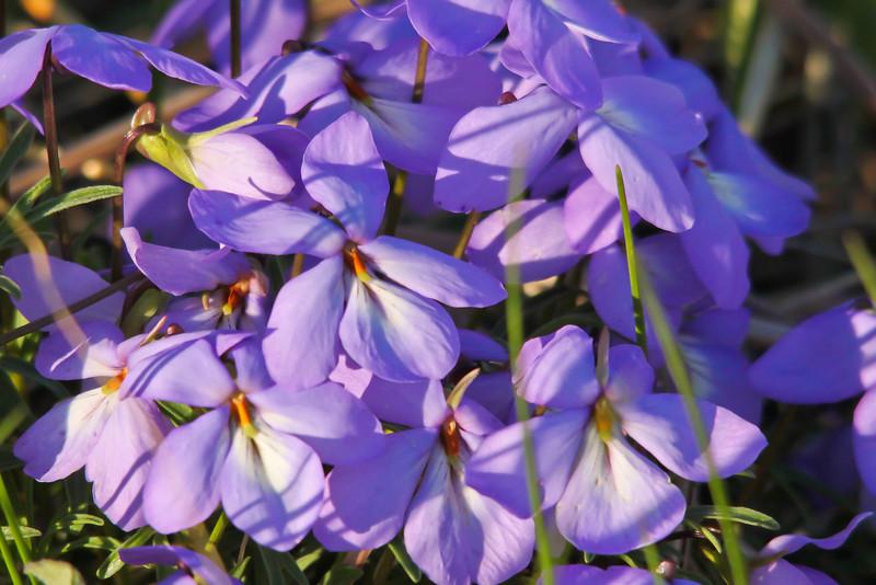 Birdfoot Violets