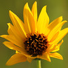 Woodland Sunflower