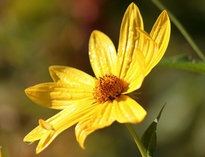 Few-leaf Sunflower
