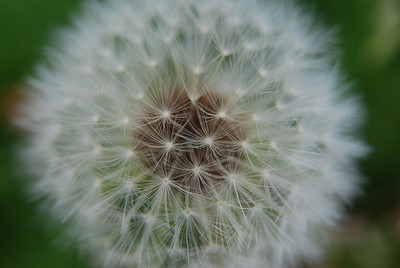 dandelion, Taraxacum officinale, seed head