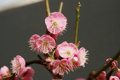Japanese flowering apricot bonzai (also called Japanese Plum and Chinese Plum), Brooklyn Botanic Garden