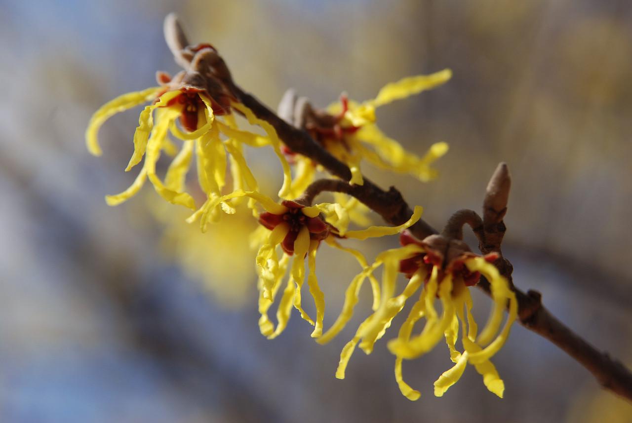 hybird witch hazel flowers