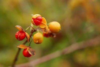 Oriental bettersweet arils, Jamaica Bay, NY