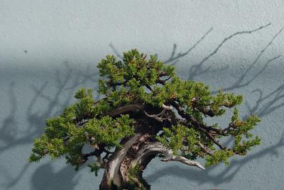 Japanese garden juniper bonzai, Brooklyn Botanic Garden