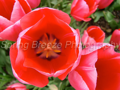 tulip Brookside gardens April 2012-tulips
