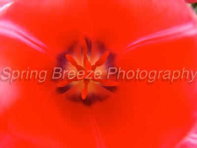 tulip Brookside gardens April 2012-tulip center