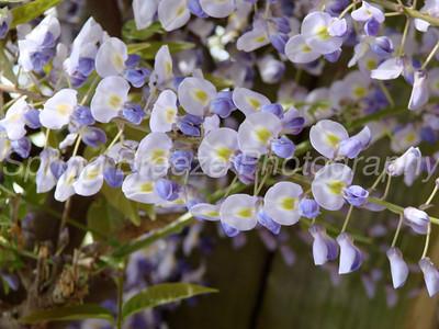 wisteria Brookside gardens April 2012-Wisteria