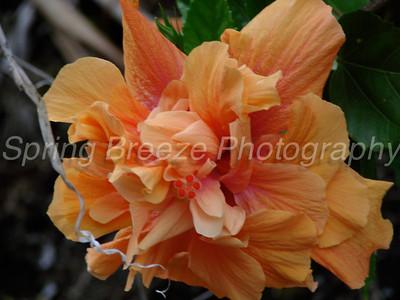 hibiscus Waianapanapa state park Maui July 2010
