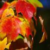 Autumn foliage.