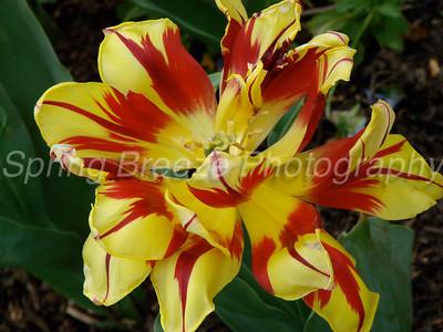tulip Brookside gardens April 2012-tulip